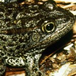 Endangered Species Act Sacrifices People to Frogs